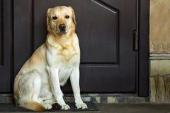 Grote gele hondzitting dichtbij huisdeur royalty-vrije stock afbeeldingen