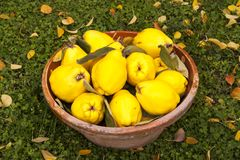Grote gele kweeperen in een kleikom royalty-vrije stock fotografie