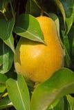 Grote gele peer Stock Foto's