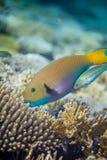 Grote gele scarusvissen Royalty-vrije Stock Foto's
