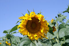 Grote gele zonbloem Stock Fotografie