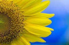 Grote gele zonnebloem Stock Afbeelding