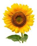 Grote zonnebloem met spin Stock Foto's