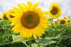 Grote gele zonnebloem op de achtergrond van onscherpe zonnebloemen kleiner buiten de streek van scherpte Royalty-vrije Stock Afbeeldingen