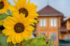 Grote gele zonnebloemen Stock Foto