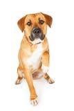 Grote Gemengde Rassenhond die Poot voor Schok uitbreiden Royalty-vrije Stock Afbeeldingen