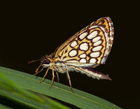 Grote geruite kapiteins (Heteropteris-morpheus) vlinder Stock Fotografie