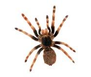Grote geïsoleerdej spin Royalty-vrije Stock Afbeeldingen