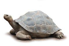 Grote geïsoleerdeo schildpad Stock Foto