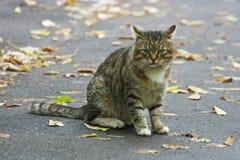 Grote gestreepte kattenzitting op een asfaltweg onder gevallen leav stock fotografie