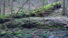 Grote gevallen boomstam van sparren, spar in het hout, Maroltova-jelka, bergrivier, stroom, kreek met stroomversnelling stock footage