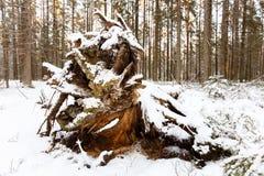 Grote gevallen spar die met sneeuw wordt behandeld als bos van Karelië Royalty-vrije Stock Fotografie
