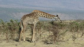 Grote giraf die bladeren van lage acaciastruiken eten op hete dag stock footage