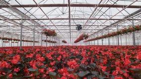 Grote glasserre met bloemen Het kweken van bloemen in serres Binnenland van een moderne bloemserre Bloemen binnen stock videobeelden