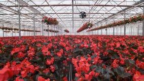Grote glasserre met bloemen Het kweken van bloemen in serres Binnenland van een moderne bloemserre Bloemen binnen stock video
