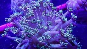 Grote goniopora van het poliep steenachtige koraal in gevangenschap met volledig uitgebreide poliepen stock footage