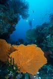 Grote Gorgonian Stock Afbeeldingen