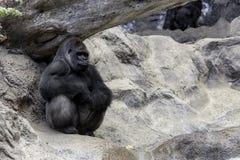Grote gorila Royalty-vrije Stock Fotografie