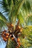 Grote gouden kokosnotenpalm met kokosnoten bij zonsondergang in de sleutels van Florida Stock Foto