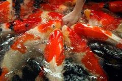 Grote goudvis Stock Foto's