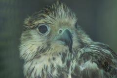 Grote grijze adelaar het staren ogen die nooit weggaan Stock Afbeelding