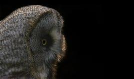 Grote grijze noordelijke uil royalty-vrije stock afbeelding