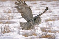 Grote grijze uil tijdens de vlucht Stock Fotografie