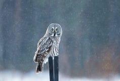 Grote grijze uilzitting op de post in de dalende sneeuw stock foto's