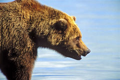 Grote Grizzly in beweging Stock Afbeelding