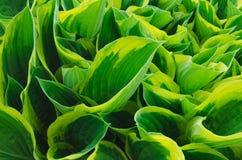 Grote groene bladeren Stock Foto