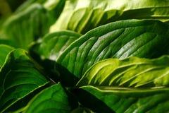 Grote groene bladeren Royalty-vrije Stock Afbeeldingen