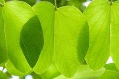 Grote groene bladeren die met zonlicht door glanzen Stock Afbeelding