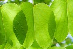 Grote groene bladeren die met zonlicht door glanzen Royalty-vrije Stock Afbeeldingen