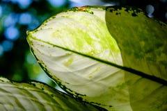 Grote groene bladeren die met zonlicht door glanzen Royalty-vrije Stock Fotografie