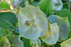 Grote groene bloem van kamperfoelieclose-up in tuin stock afbeeldingen