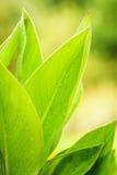 Grote groene bloembladeren Royalty-vrije Stock Foto
