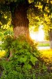 Grote groene die boom met installaties op een de zomerdag wordt behandeld op de achtergrond van een zonsondergang royalty-vrije stock afbeeldingen