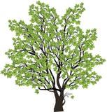 Grote groene die esdoornboom op wit wordt geïsoleerd royalty-vrije illustratie