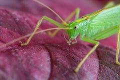 Grote groene sprinkhaan op rood verlof, macro stock afbeeldingen