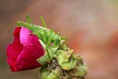 Grote groene sprinkhanenzitting op een bloemmalve Royalty-vrije Stock Foto
