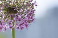 Grote groene ui; Paardebloem; kleine purpere bloemen royalty-vrije stock foto's
