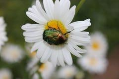 Grote groene verglaasde insectenzitting op margrietbloem royalty-vrije stock afbeelding