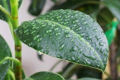 Grote groene verse bladeren van ficus met waterdalingen royalty-vrije stock afbeelding