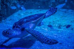 Grote groene zeeschildpad in aquarium stock foto