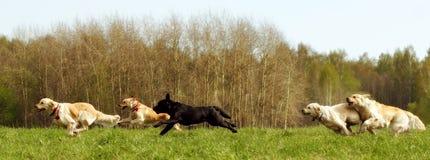 Grote groep hondenretrievers het lopen Stock Foto