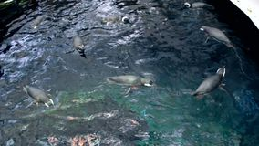 Grote groep pinguïnen die in water bij dierentuin zwemmen stock video