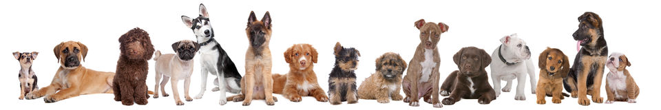Grote groep puppy Royalty-vrije Stock Afbeelding