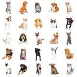 Grote Groep Puppy en Katjes Royalty-vrije Stock Afbeelding