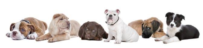 Grote groep puppy op een witte achtergrond Stock Fotografie