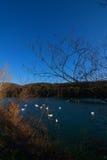 Grote groep zwanen in een meer in de winter Royalty-vrije Stock Foto's